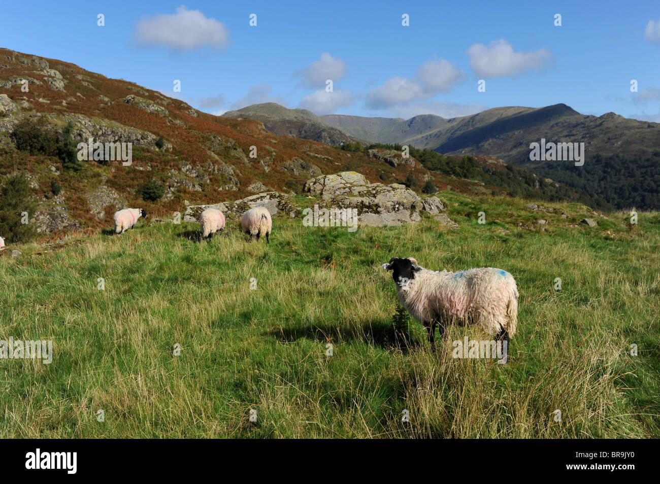Sheep grazing at Loughrigg Fell near the Lake District village of Ambleside Cumbria UK - Stock Image