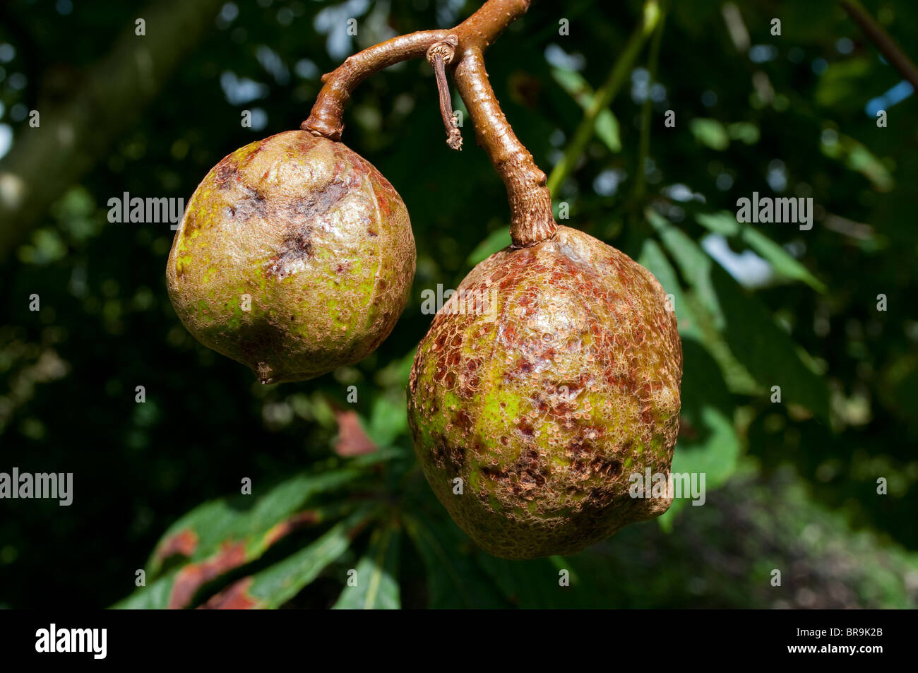 two conkers hanging from a tree - Stock Image