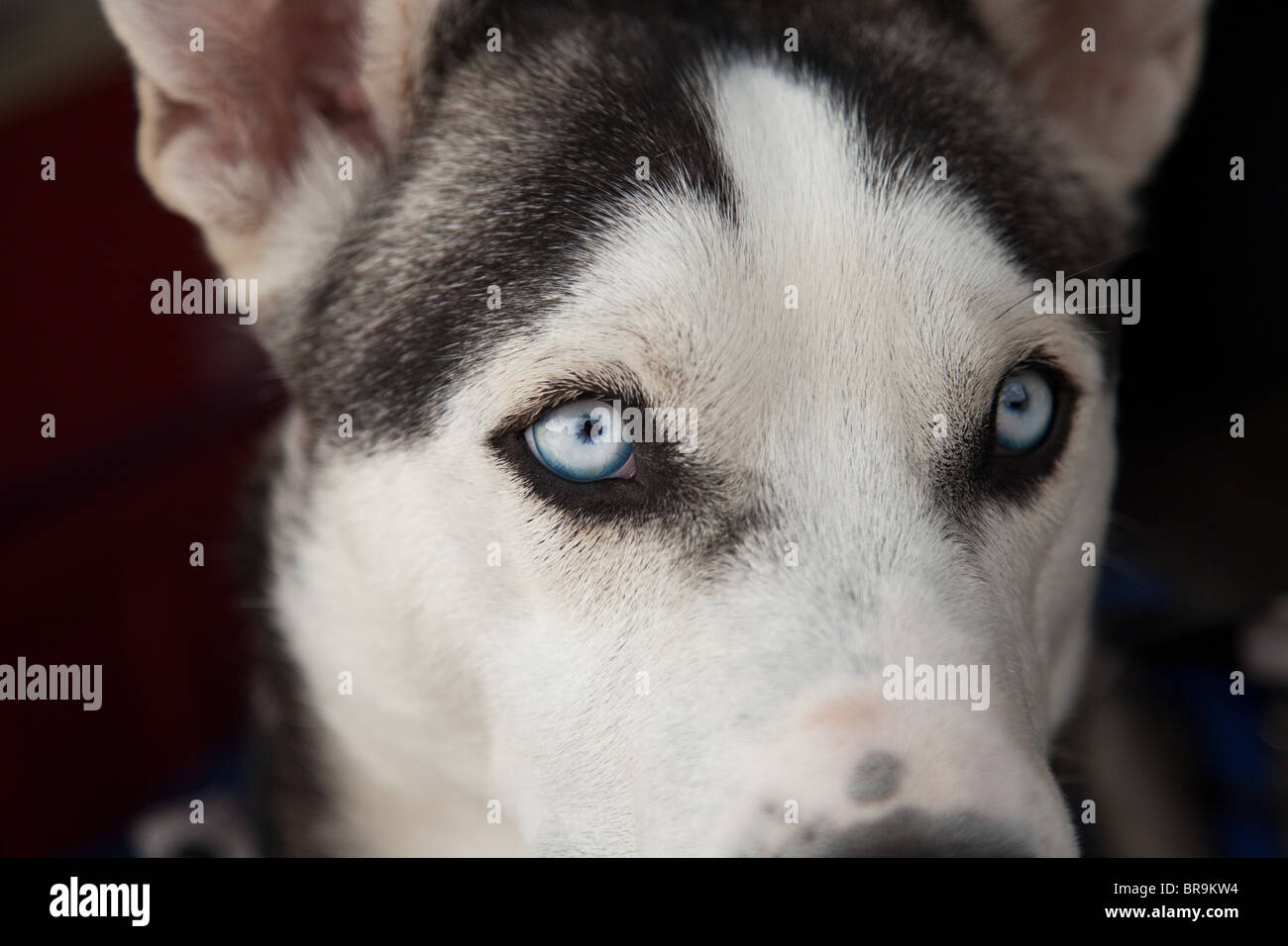 Close up of husky dog, Moab, Utah, USA - Stock Image