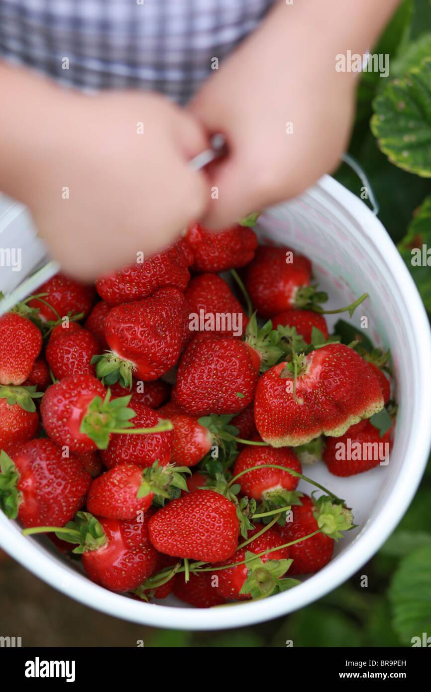 Little girl holding bucket full of strawberries - Stock Image