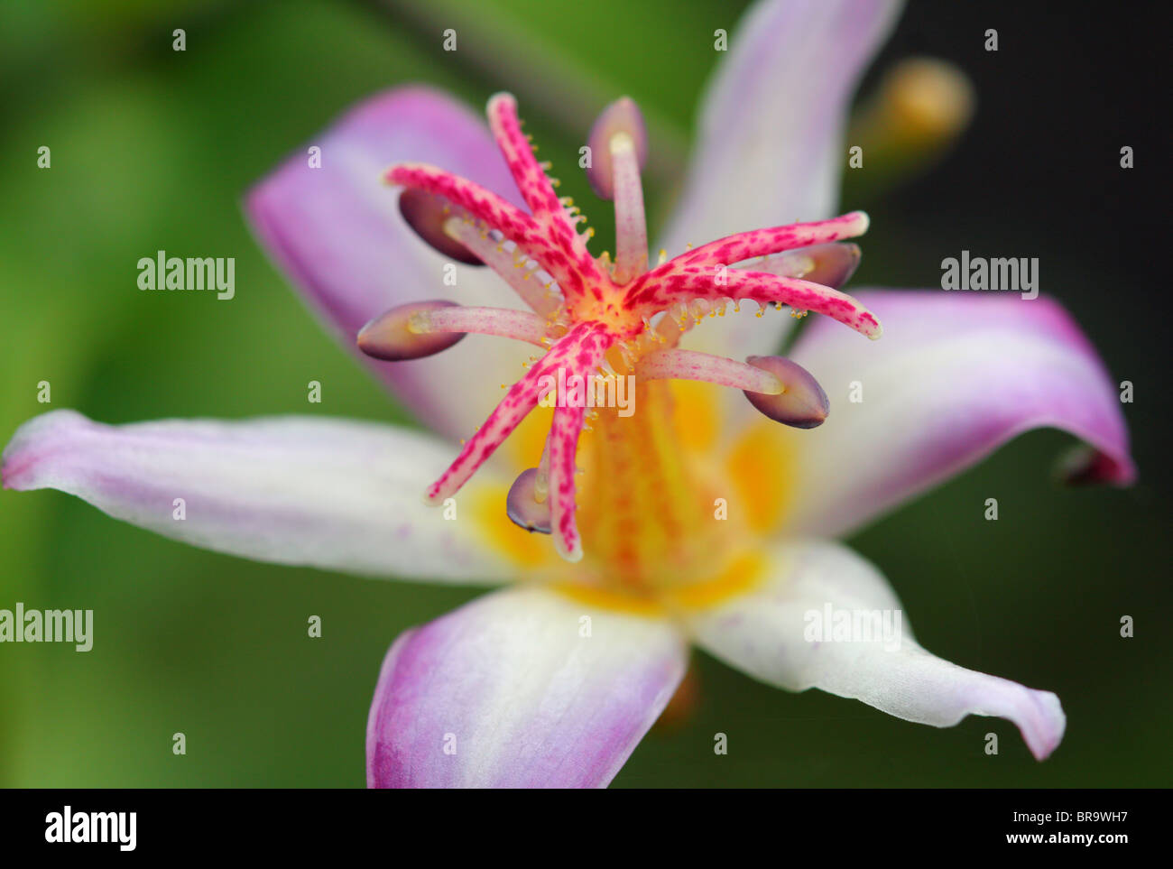 Toad lily flower close up tricyrtis hirta stock photo 31565107 alamy toad lily flower close up tricyrtis hirta izmirmasajfo
