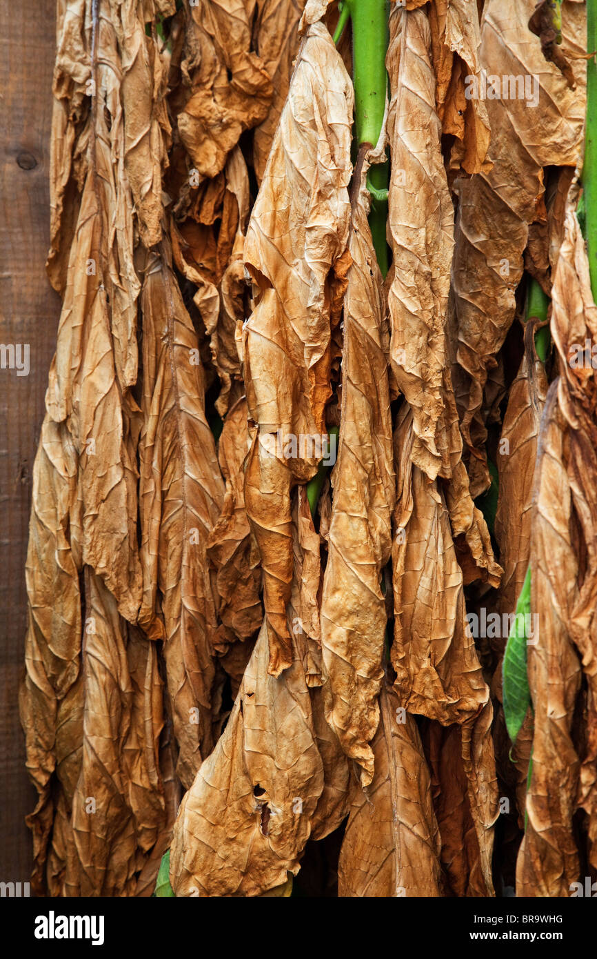 Tobacco leaves being dried. - Stock Image