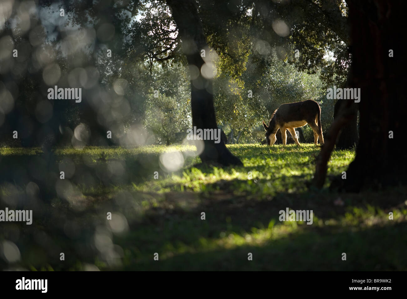 A donkey grazes in an olive grove - Stock Image