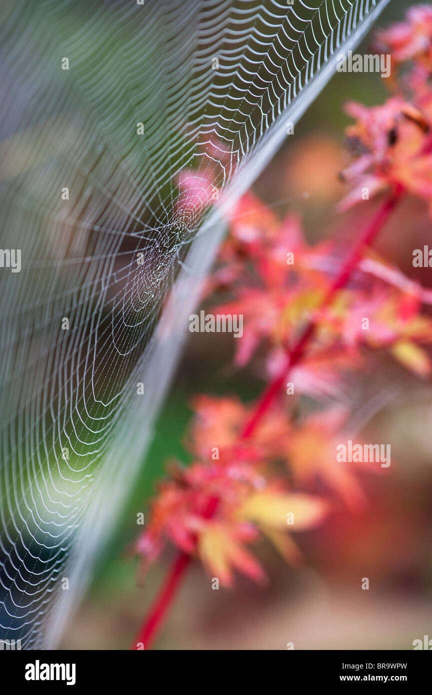 Spiders web in a garden in front of an acer tree - Stock Image
