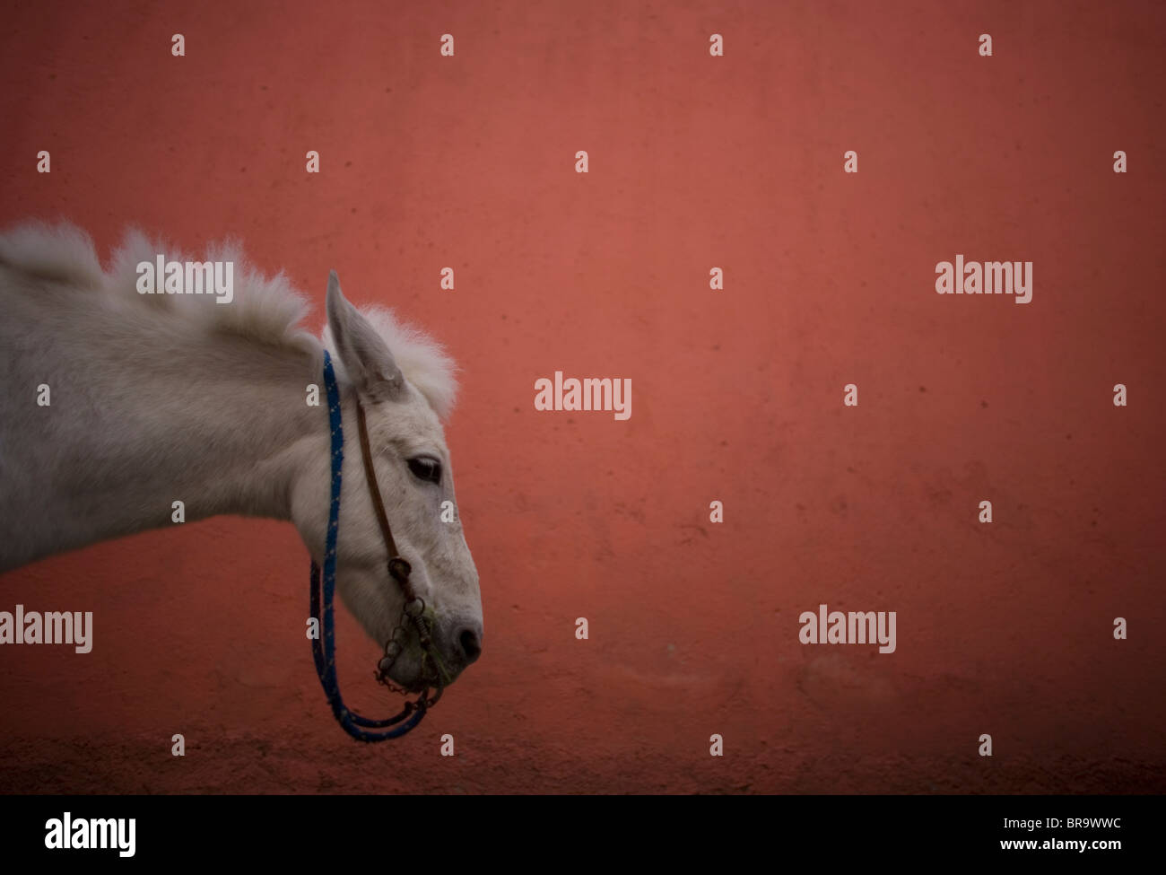 A donkey in front a salmon wall at the Annual Donkey Festival in Otumba Village Mexico - Stock Image