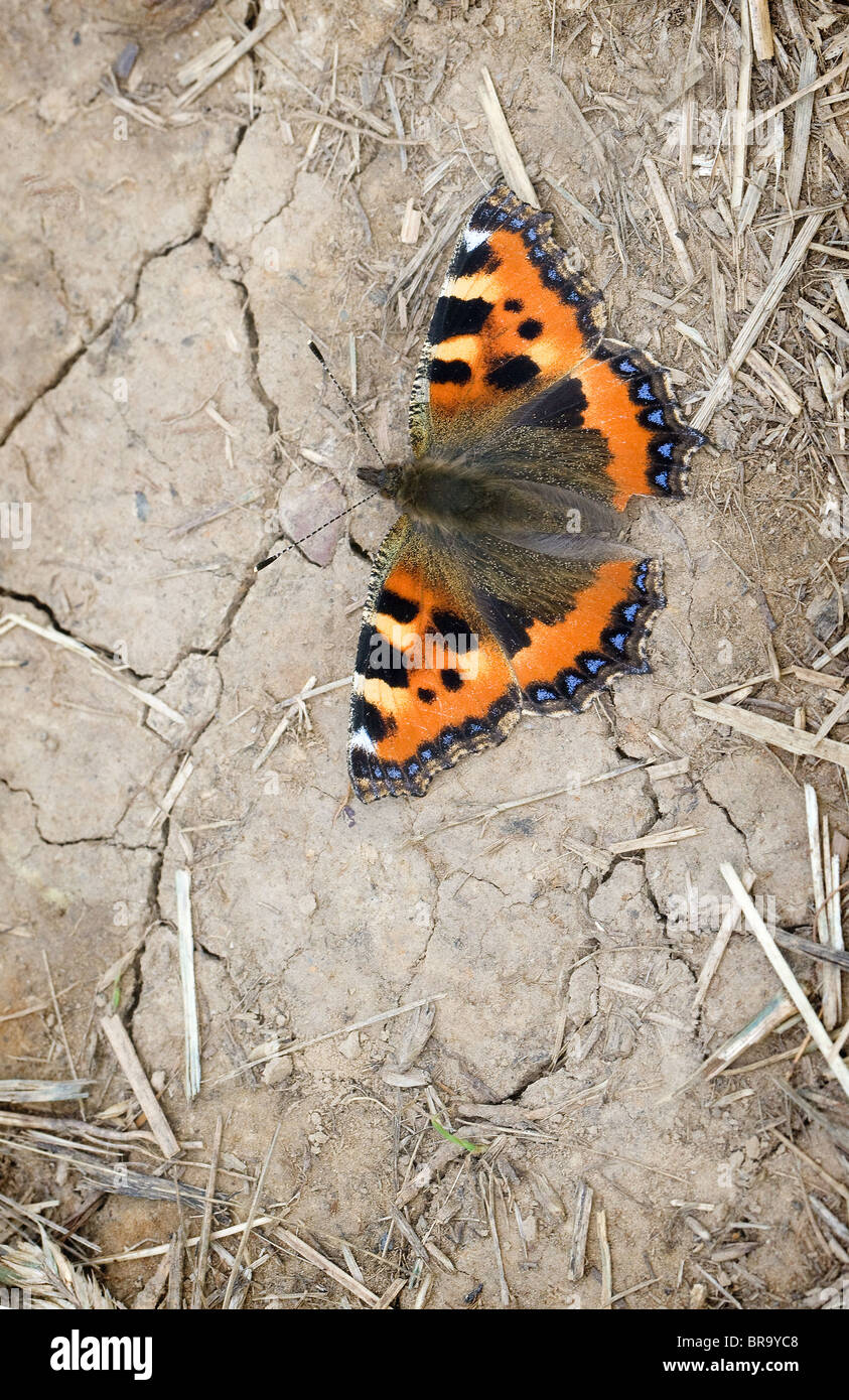 Small Tortoiseshell butterfly Aglais urticae autumn brood basking on dry earth - Stock Image