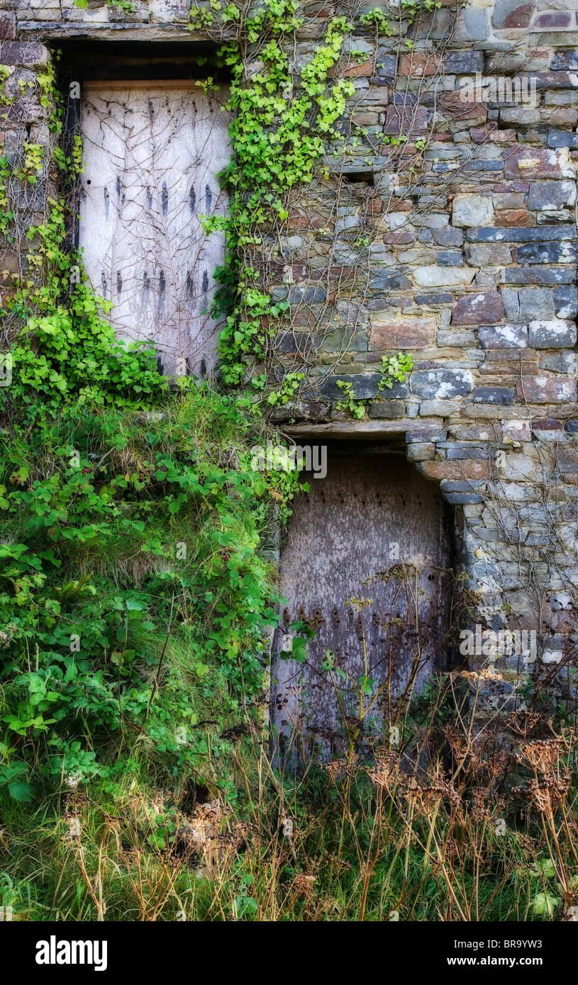 Derelict grain barn doors in North Cornwall festooned with ivy - Stock Image