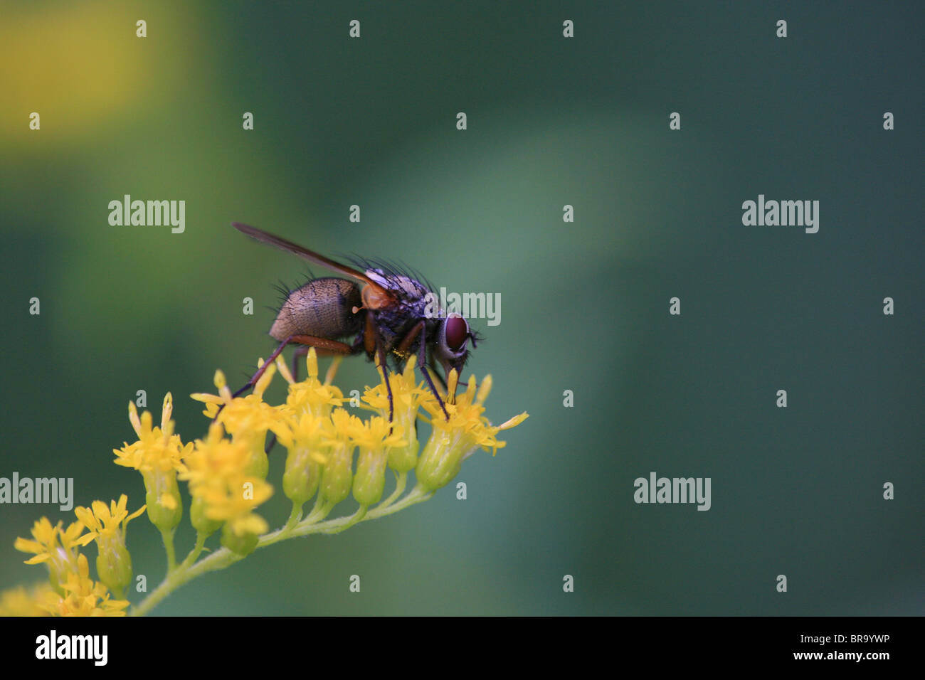 Fly on yellow flower at Evje in Rygge, Norway - Stock Image