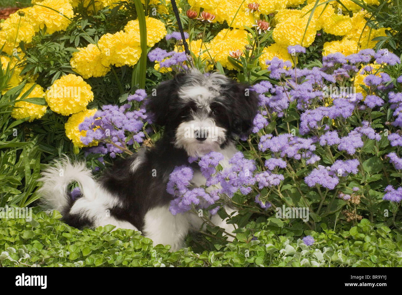 Cute Havanese Puppy Outdoor In Yellow And Purple Flowers Stock Photo
