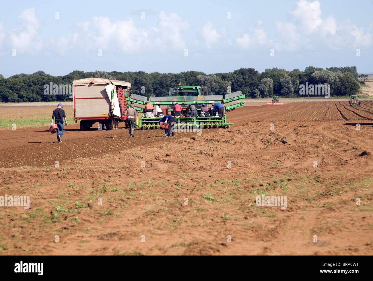 Migrant workers planting seedlings, Alderton, Suffolk, England - Stock Image
