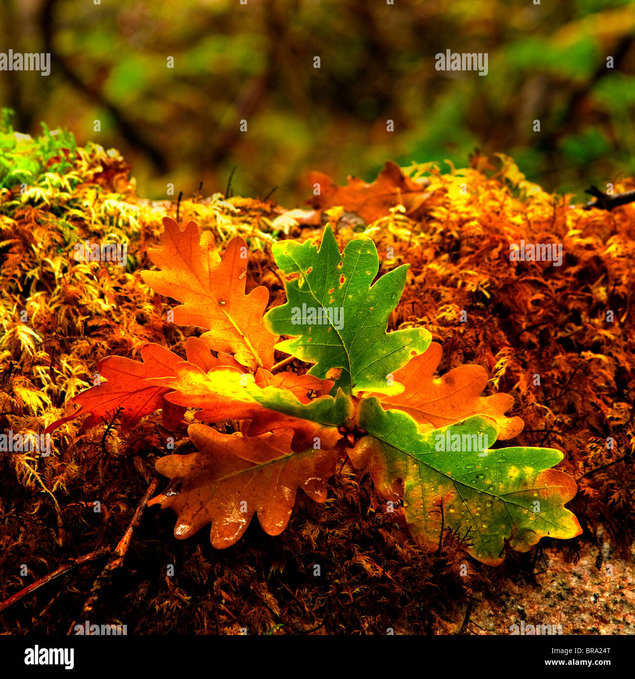 Beautiful colored leafs from a oak tree - Stock Image