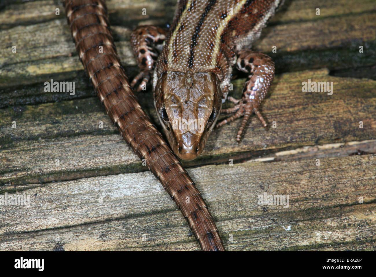 Viviparous lizard, sci.name; Zootoca vivipara , at Evje in Rygge, southeastern Norway. - Stock Image