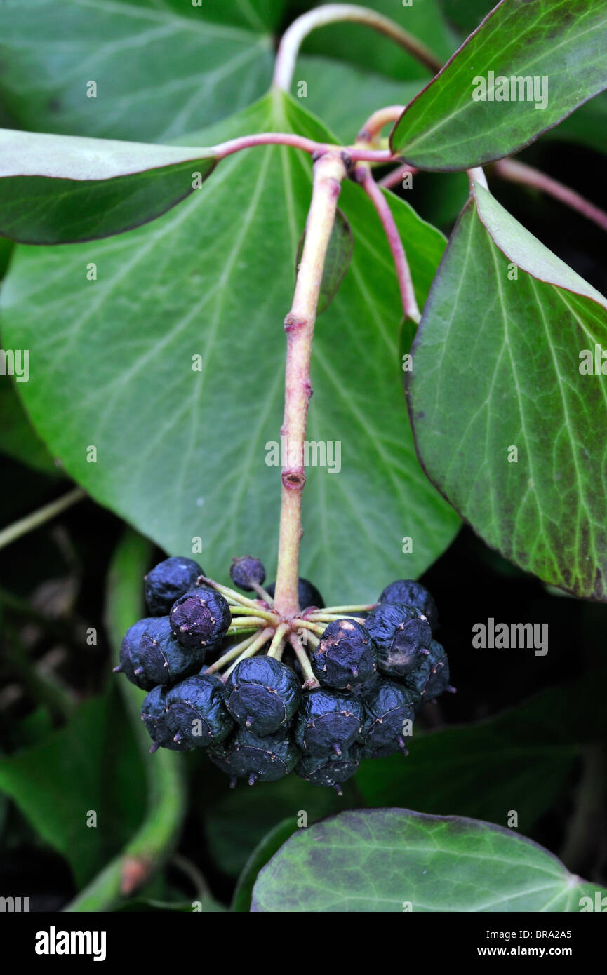 Ivy (Hedera helix) leaves and fruit, Belgium Stock Photo