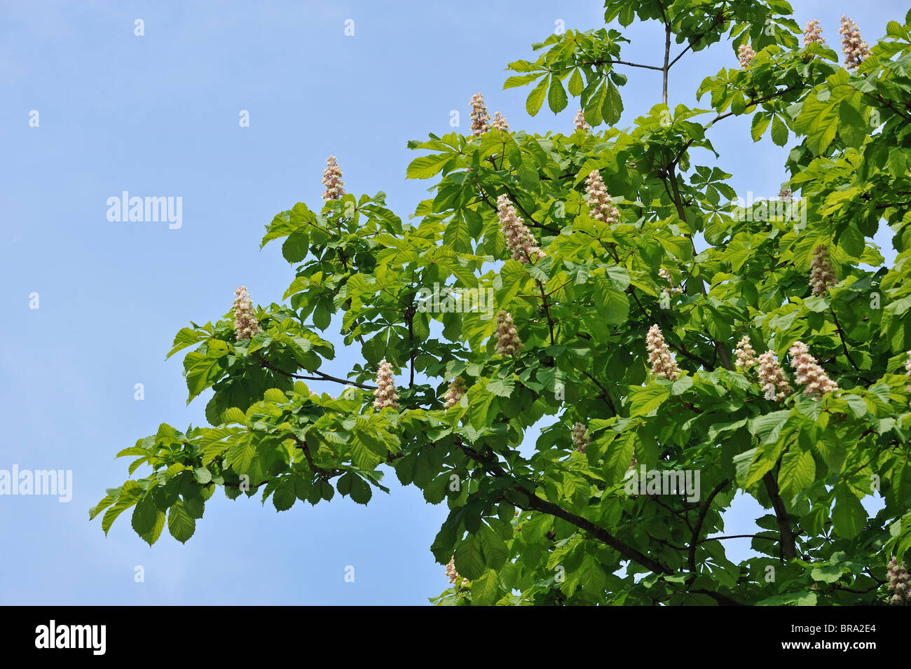 Horse-chestnut / Conker tree (Aesculus hippocastanum) showing foliage and flowers in spring, Belgium - Stock Image