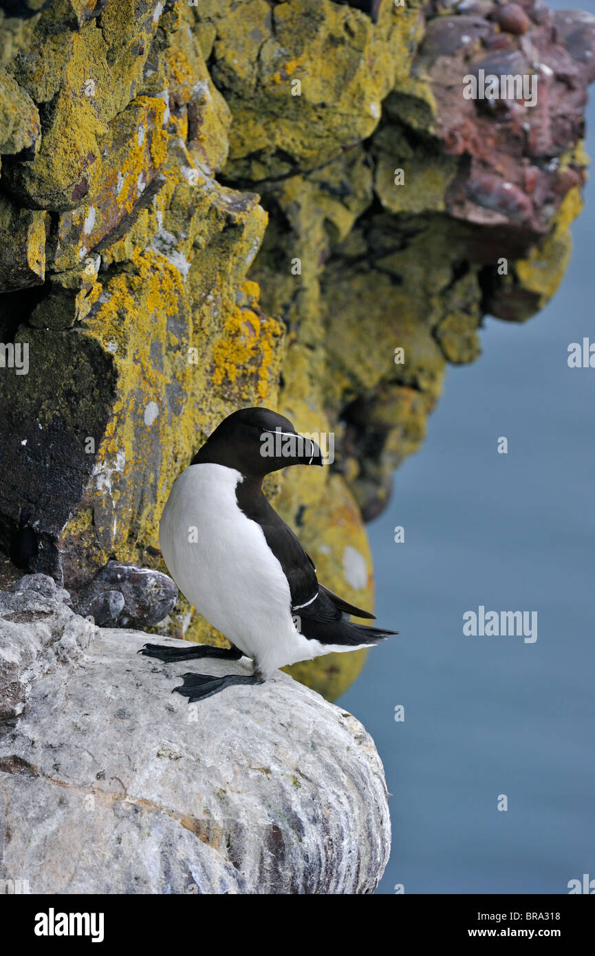 Razorbill (Alca torda) resting on ledge in cliff face at the Fowlsheugh RSPB reserve, Scotland, UK - Stock Image