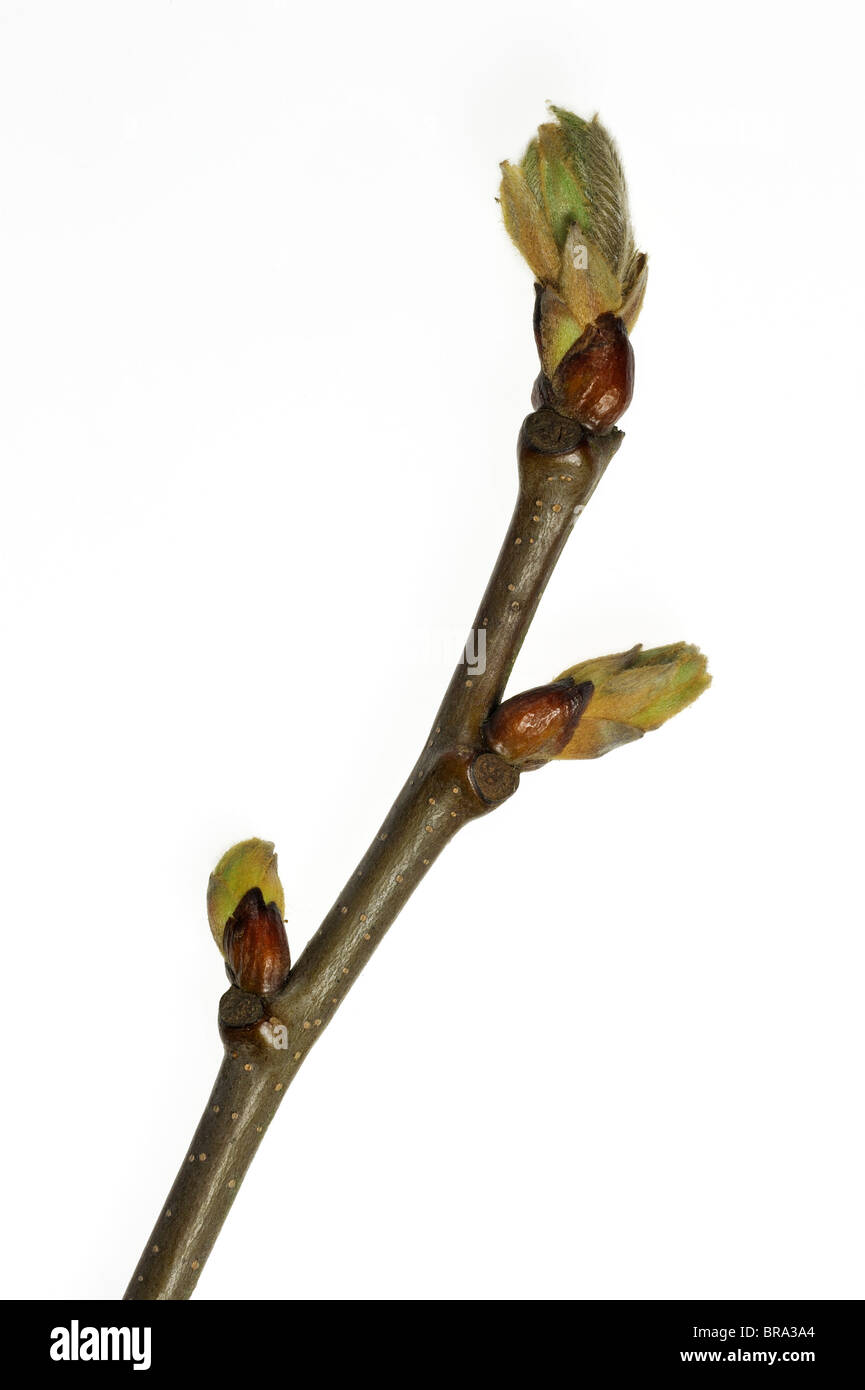 Sweet chestnut (Castanea sativa) buds opening and leaves emerging in spring against white background - Stock Image