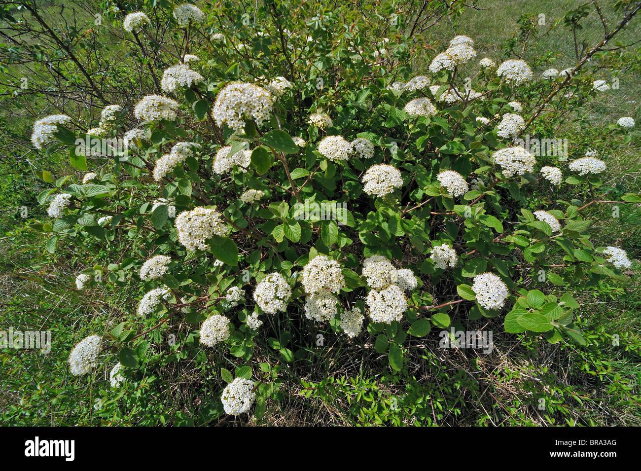 Wayfaring tree (Viburnum lantana) in flower, Belgium - Stock Image