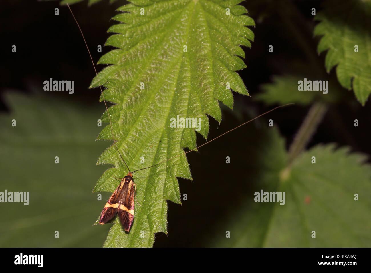 Longhorn Moth (Nemophora degeerella : Incurvariidae), male in woodland, UK. the longest antennae of micro moths - Stock Image