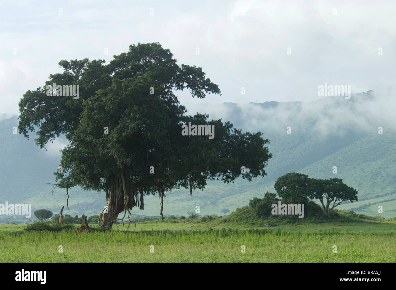 SCENIC LANDSCAPE TREES MISTY CLOUDS NGORONGORO CRATER TANZANIA AFRICA - Stock Image