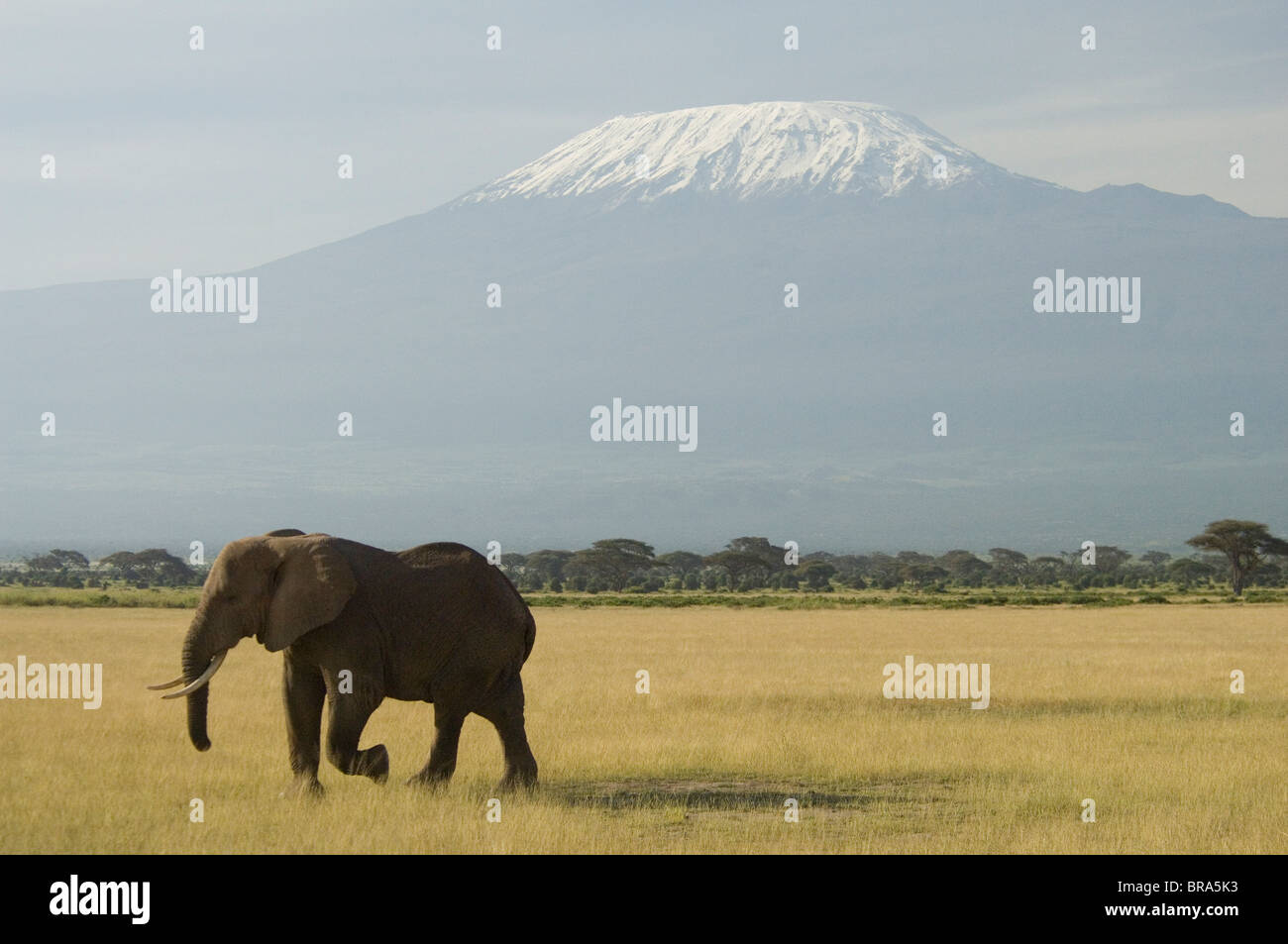 ELEPHANT WALKING IN PLAINS OF AMBOSELI NATIONAL PARK MOUNT KILIMANJARO IN BACKGROUND KENYA AFRICA - Stock Image