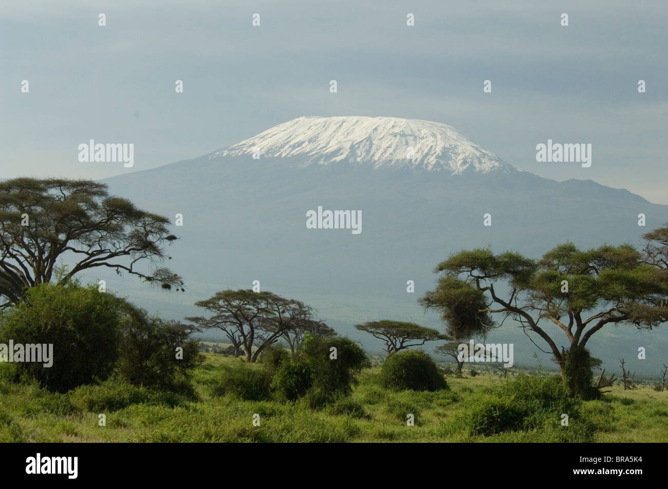 MOUNT KILIMANJARO WITH ACACIA TREES IN FOREGROUND - Stock Image