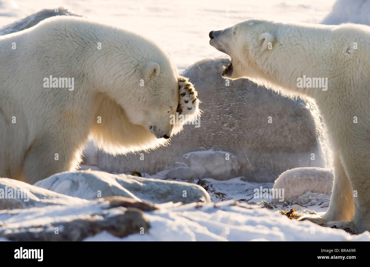 Canada, Manitoba, Hudson Bay, Churchill. Two polar bears share a joke. - Stock Image