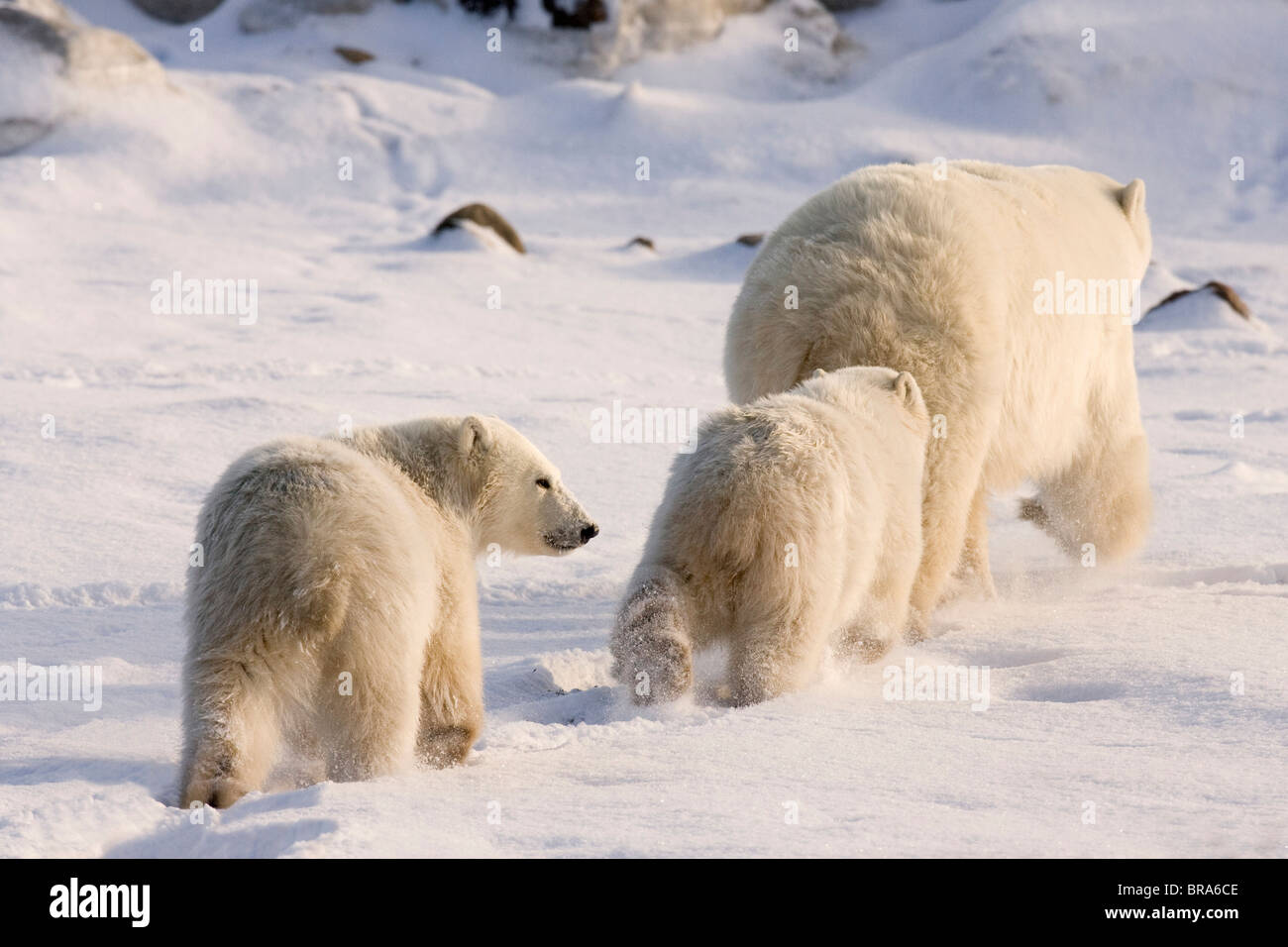Canada, Manitoba, Hudson Bay, Churchill. Two polar bear cubs follow mother across snowy landscape. - Stock Image