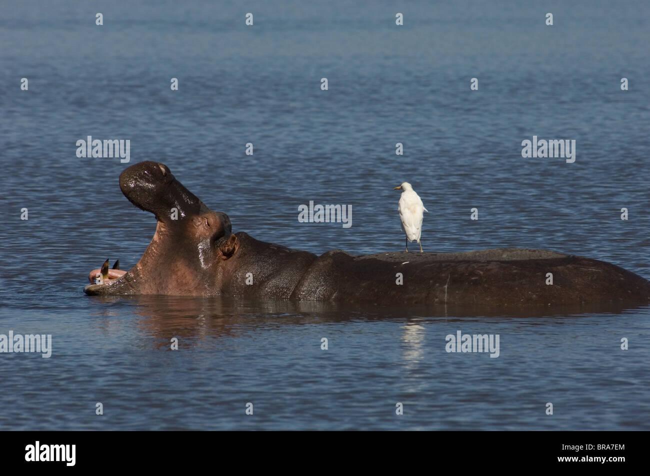 OPEN MOUTHED HIPPOPOTAMUS IN BLUE WATER WITH WHITE BIRD ON BACK LAKE NAKURU KENYA AFRICA - Stock Image