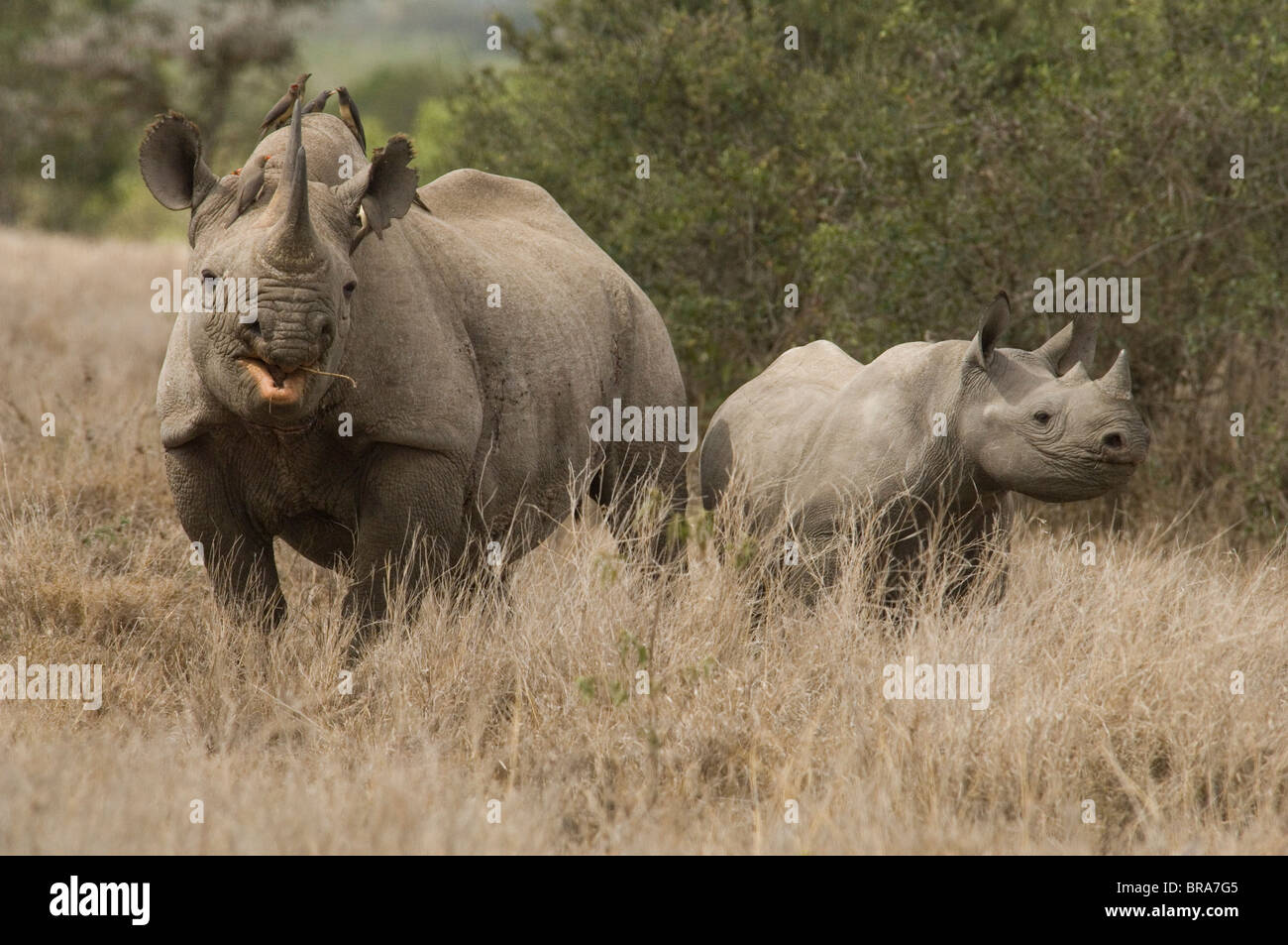WHITE RHINOCEROS COW AND CALF TANZANIA AFRICA - Stock Image