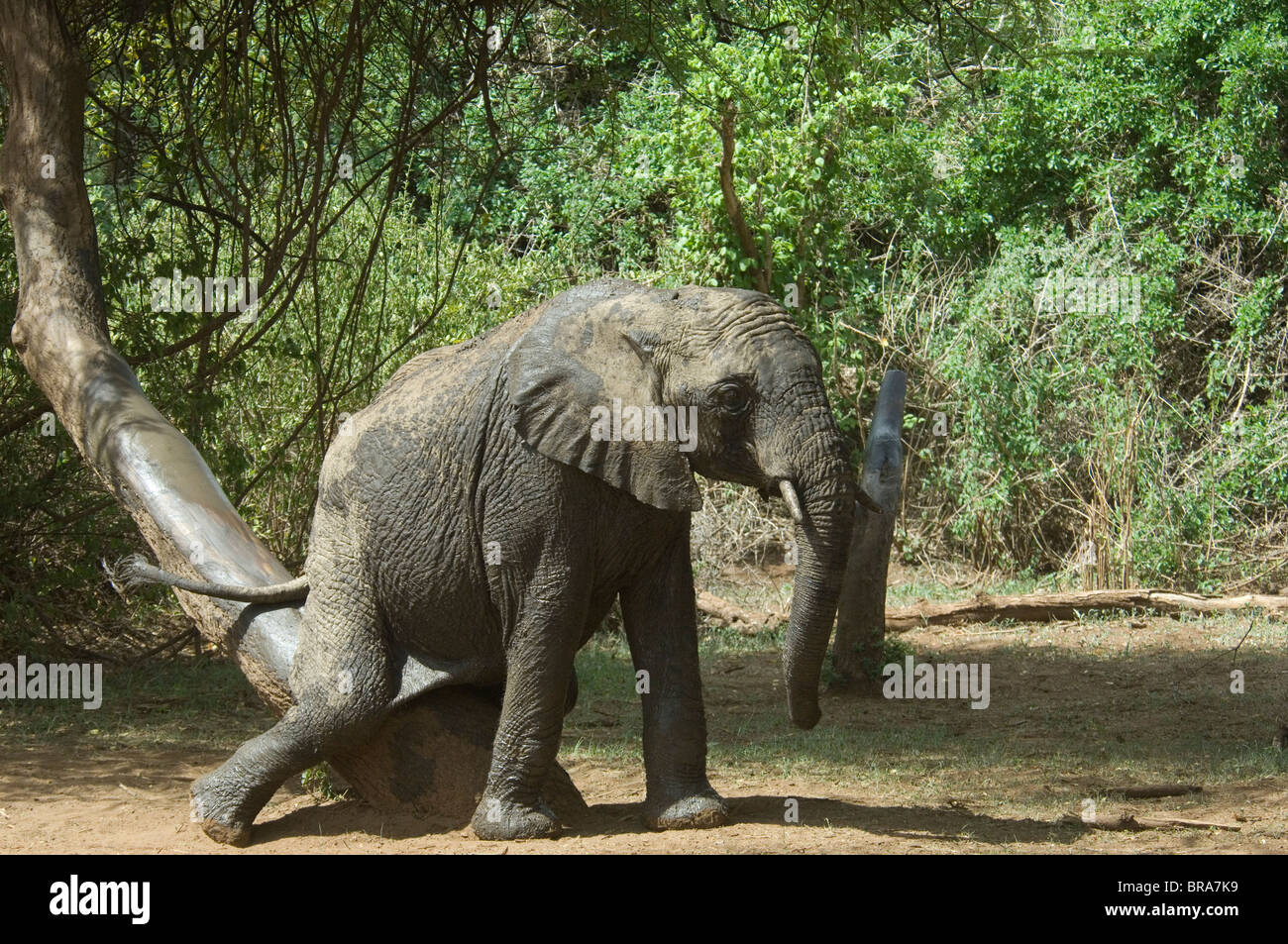ELEPHANT SCRATCHING REAR END ON TREE TRUNK LAKE MANYARA NATIONAL PARK TANZANIA AFRICA - Stock Image