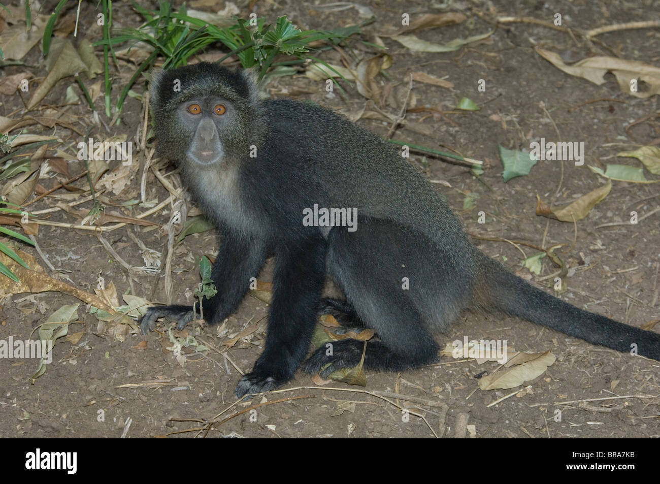 BLUE MONKEY LAKE MANYARA NATIONAL PARK TANZANIA AFRICA - Stock Image