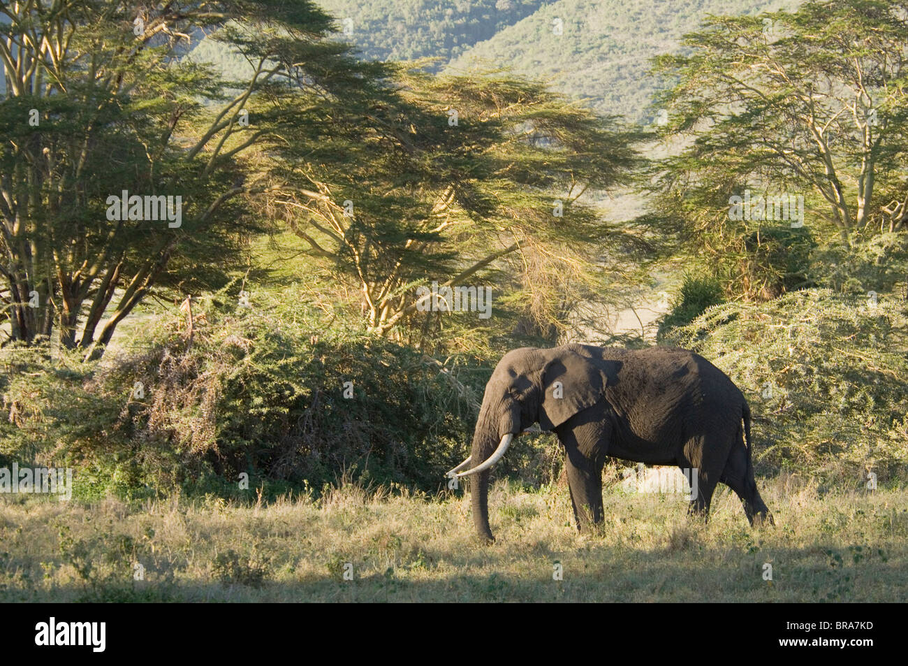 ELEPHANT LAKE MANYARA NATIONAL PARK TANZANIA AFRICA - Stock Image