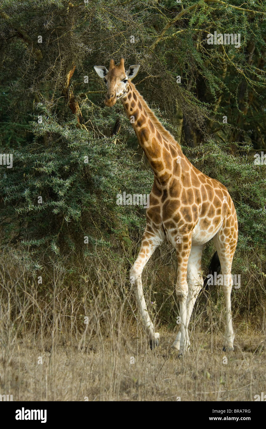 ROTHSCHILD GIRAFFE LAKE NAKURU NATIONAL PARK KENYA AFRICA - Stock Image