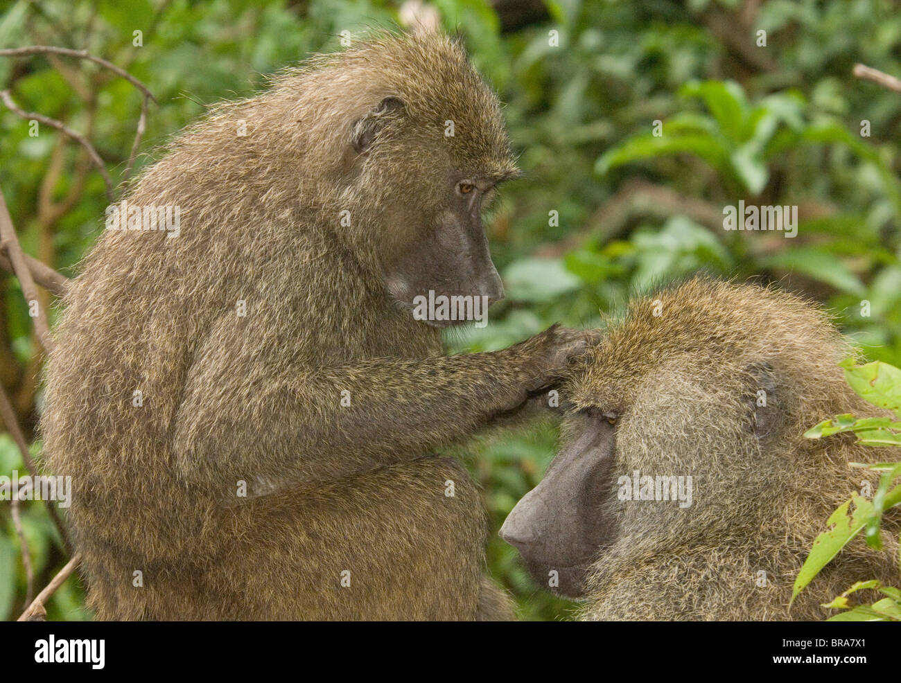 TWO BABOONS GROOMING ONE ANOTHER IN TREE LAKE MANYARA NATIONAL PARK TANZANIA AFRICA - Stock Image