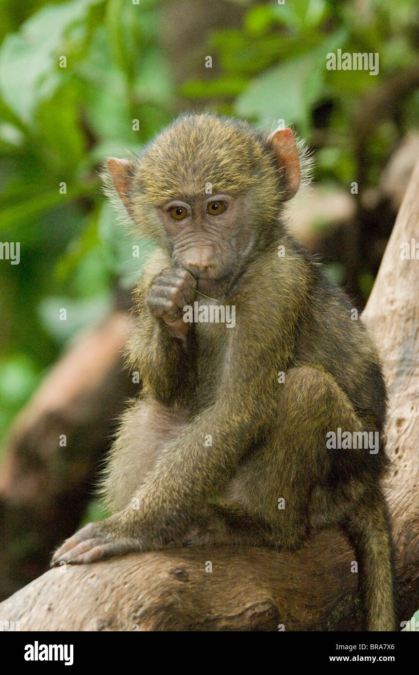 BABY BABOON IN TREE SUCKING FINGER LAKE MANYARA NATIONAL PARK TANZANIA AFRICA - Stock Image