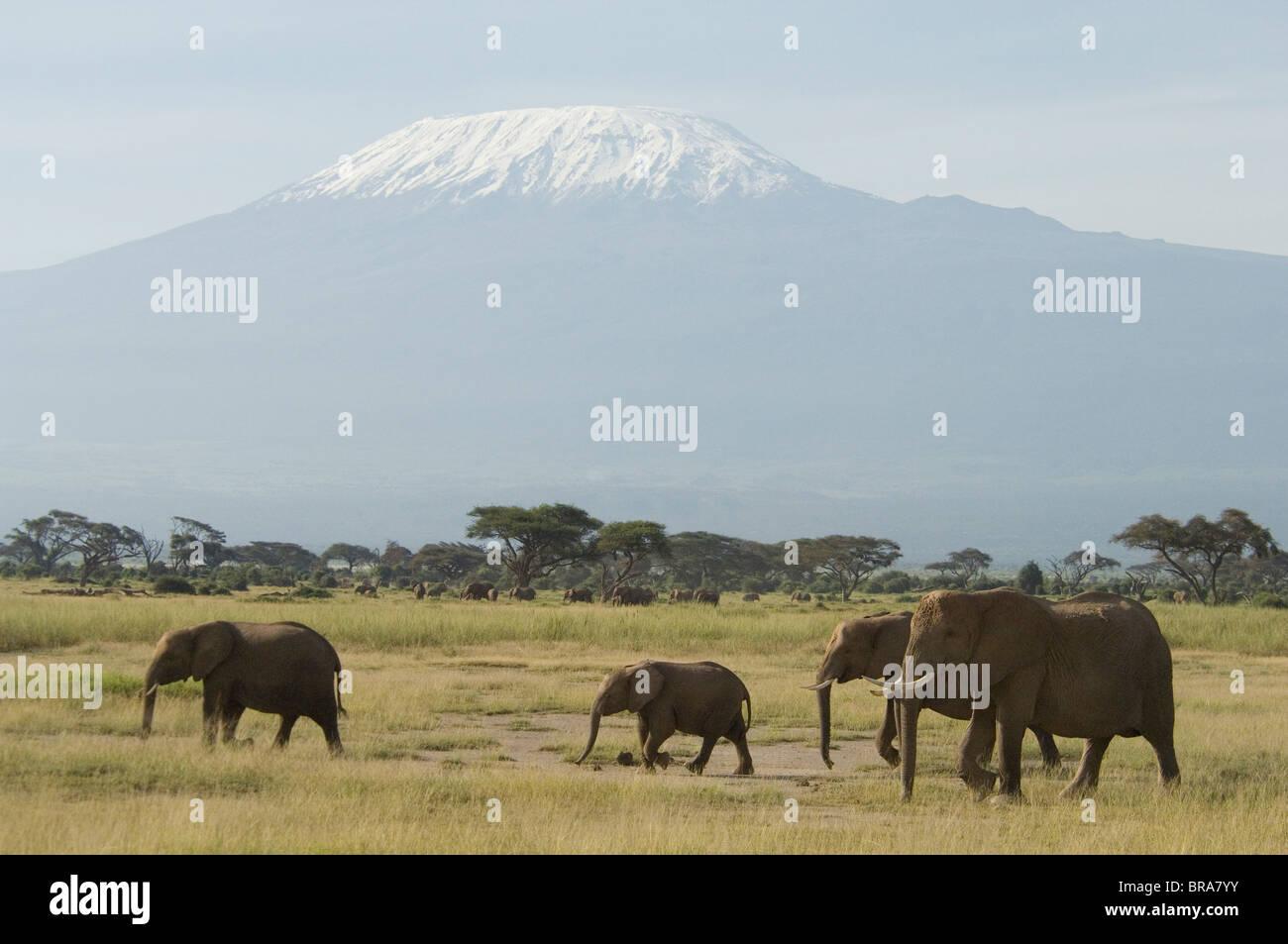 ELEPHANTS WALKING IN FRONT OF MOUNT KILIMANJARO AMBOSELI NATIONAL PARK KENYA AFRICA - Stock Image