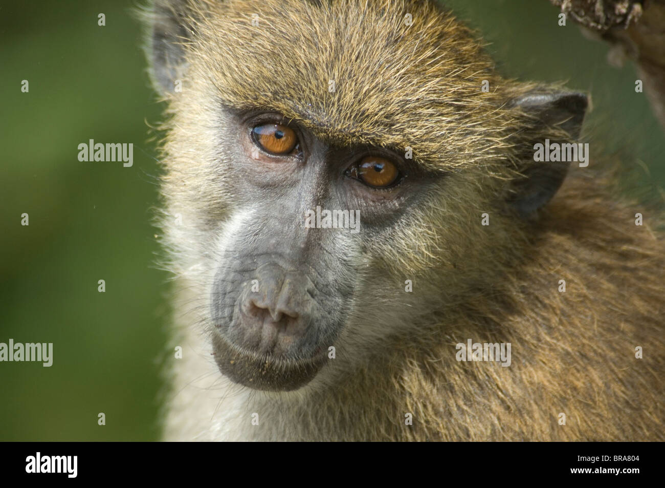 CLOSE-UP FACE OF YELLOW BABOON IN TREE AMBOSELI NATIONAL PARK KENYA AFRICA - Stock Image