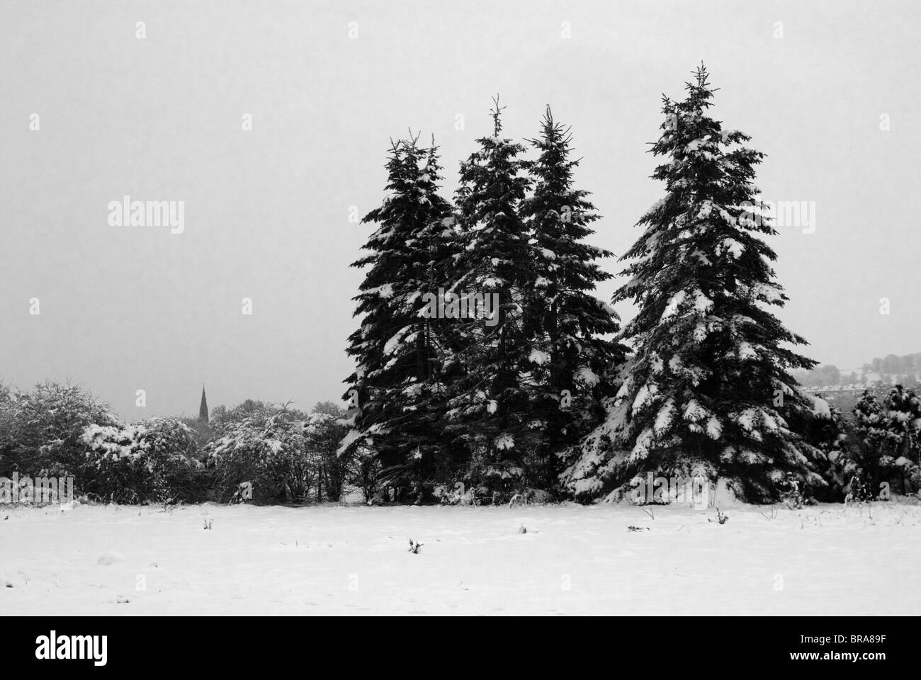 Black and white, evergreen trees in the snow, with church tower in distance. - Stock Image