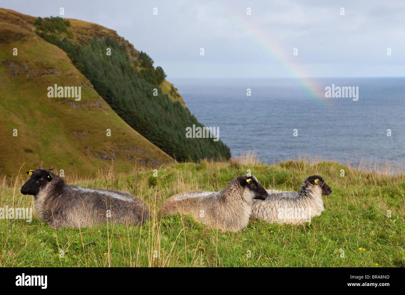 Sheep resting on green hillsides on the island Runde in Herøy kommune, Møre og Romsdal, west coast of - Stock Image