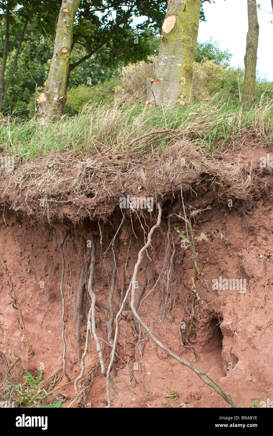Tree Roots - Stock Image