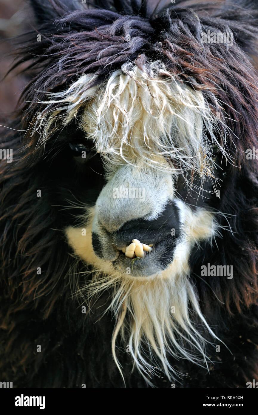 Alpaca (Vicugna pacos / Lama pacos) close up, native to South America - Stock Image