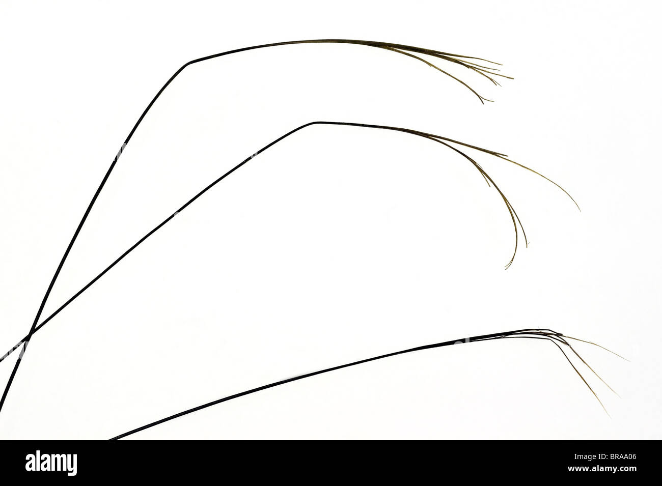 Close-up of split badger hairs (Meles meles) - Stock Image