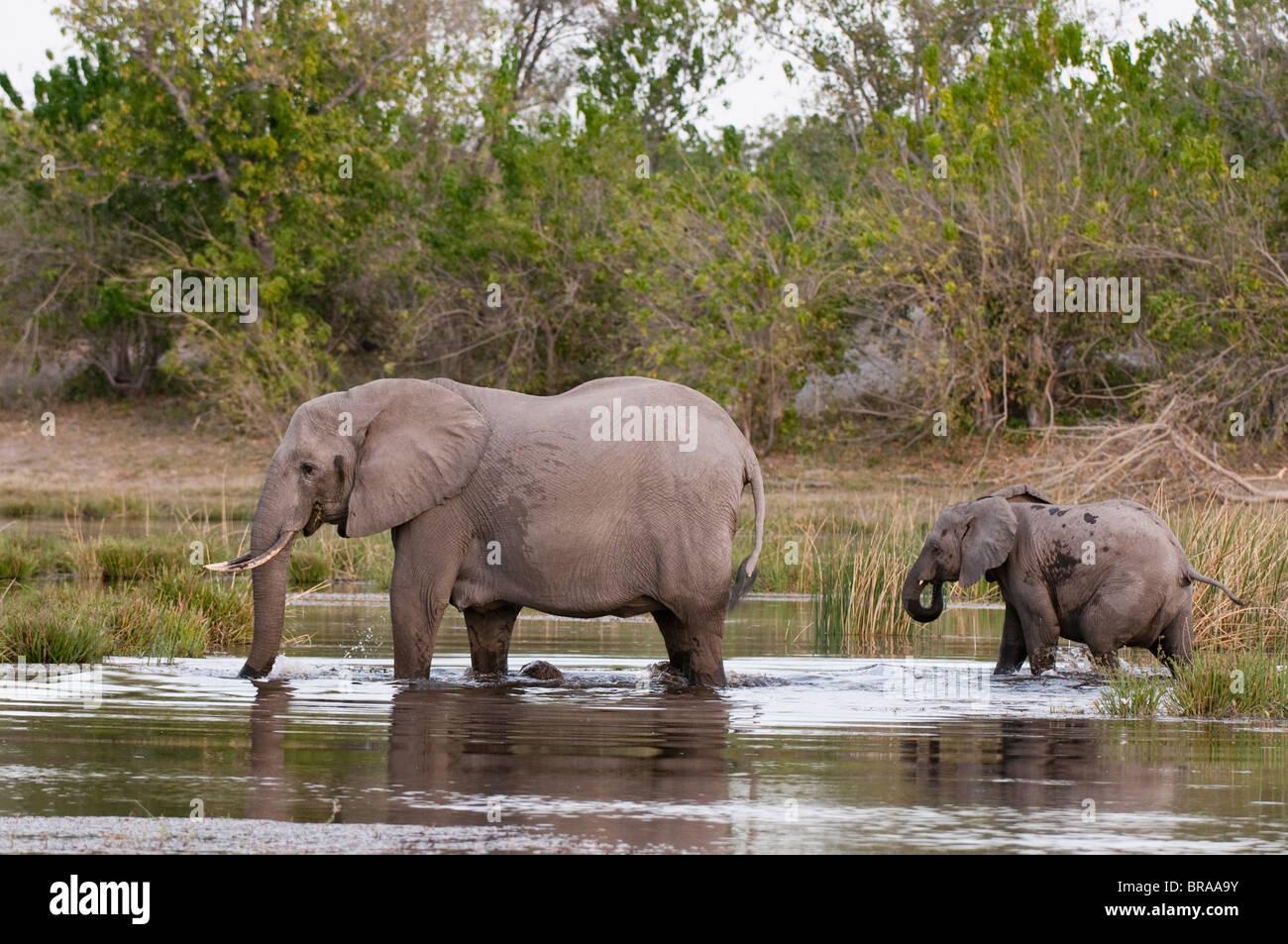 Elephant (Loxodonta africana), Savute Channel, Linyanti, Botswana, Africa - Stock Image