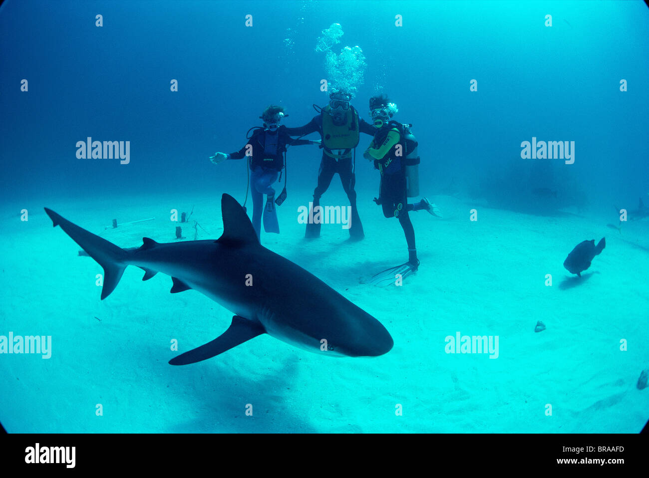 Father and sons observe Caribbean reef shark. {Carcharhinus perezi} Bahamas. Model released. - Stock Image