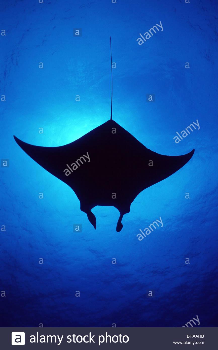 Silhouette of Atlantic Manta ray {Manta birostris} Little Cayman Island, Caribbean Sea - Stock Image