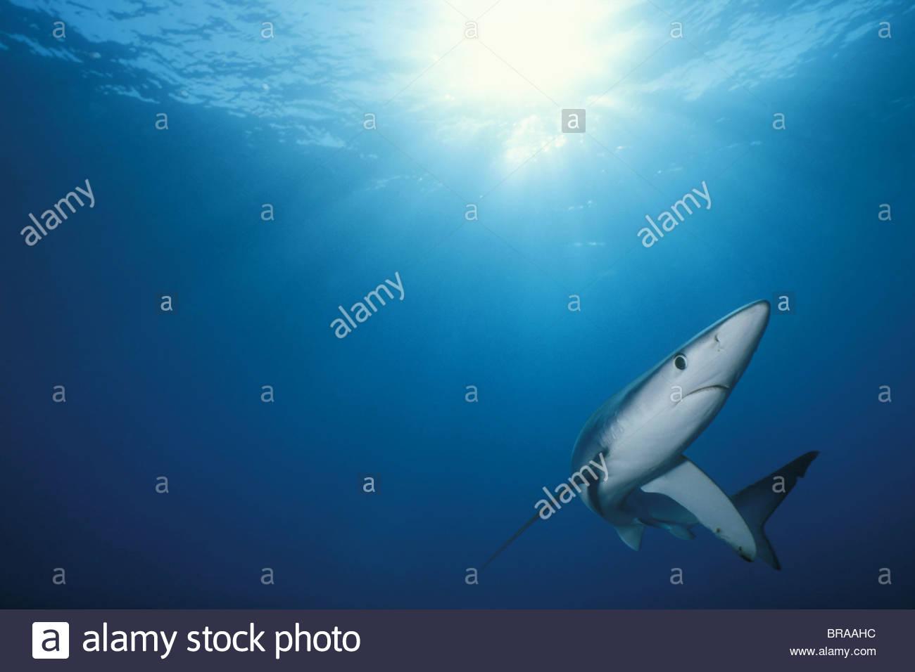 Great blue shark {Prionace glauca} Channel Islands, California, USA Stock Photo