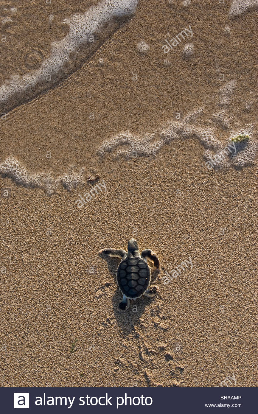 Australian flatback sea turtle hatchling (Natator depressus)  from captive release programme, Crab Island, Australia - Stock Image