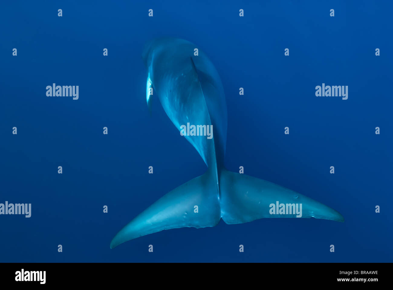 Dwarf minke whale, thought to form a yet-to-be named sub-species of the Common minke whale - Stock Image