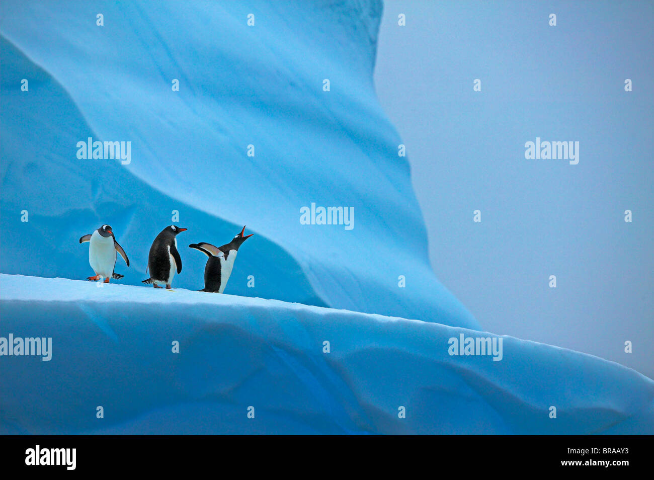 Gentoo penguin (Pygoscelis papua) group on iceberg, Mikkelsen Harbour, Antarctica - Stock Image