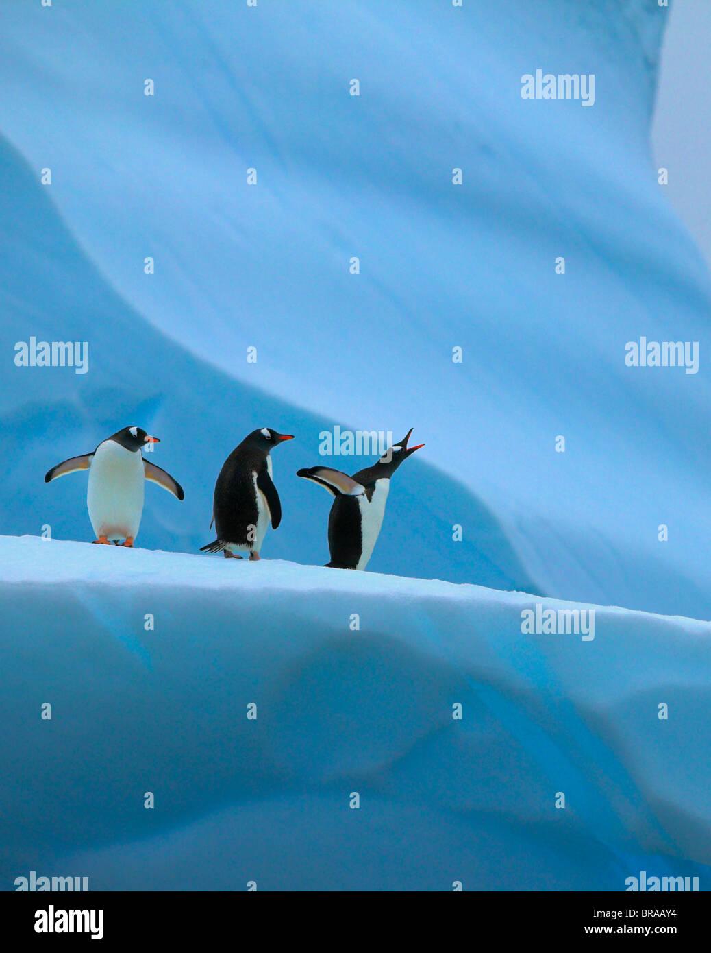 Gentoo penguin (Pygoscelis papua) group on iceberg, one calling, Mikkelsen Harbour, Antarctica - Stock Image